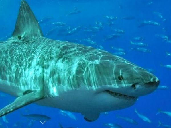 Great White Shark Nursery Found South of Cape Cod ...