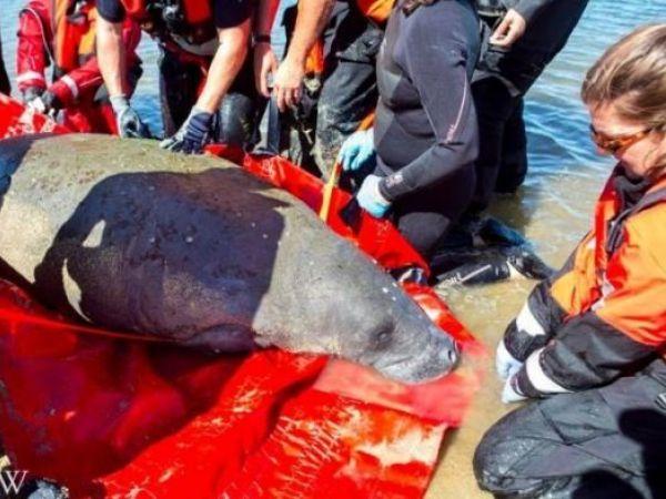 Wayward manatee rescued off Cape Cod now at Mystic Aquarium in CT
