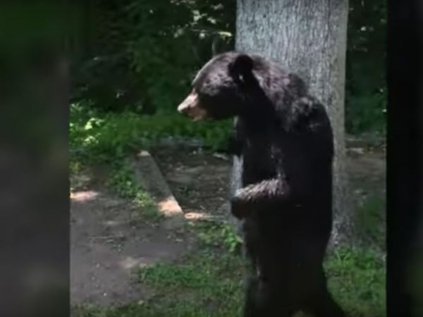 Was New Jersey's bipedal bear Pedals killed?