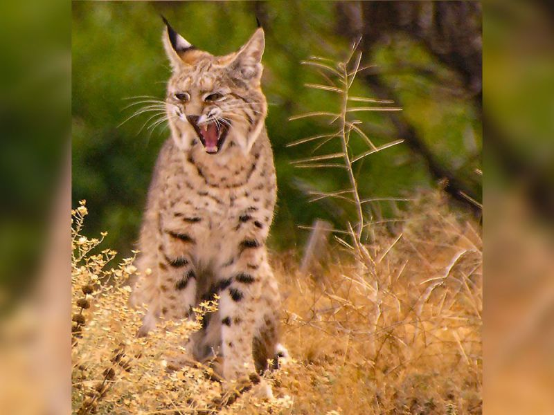 Bobcats Visit Beaumont Neighborhood Amazing Photos Of The