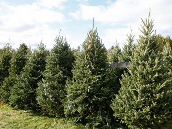 Here's Jersey City's Christmas tree pickup schedule