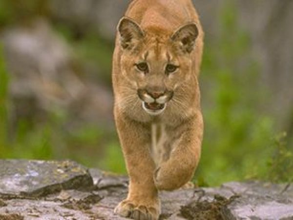 Mountain lion spotted in lafayette lamorinda ca patch for California department of fish and wildlife jobs