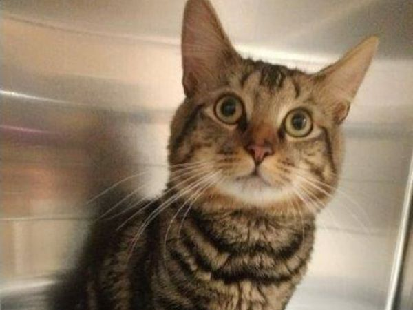 Lost Cat S Owner Sought In Middletown Animal Control