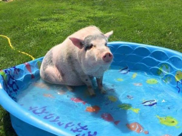 Joliet family fighting to keep pet pot bellied pig - Pot belly pigs as indoor pets ...