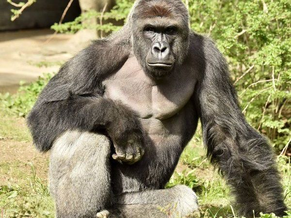 Barrier in gorilla exhibit didn't meet US standards