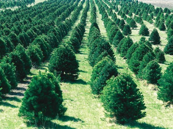 Christmas tree recycling through January  8