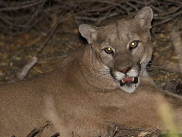 Malibu mountain lion gets reprieve from dead alpacas owner