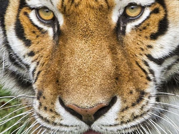 Texas woman found with tigers, skunk, fox in home, police say