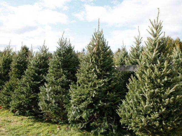 San Diego Kicks Off Annual Christmas Tree Recycling ...