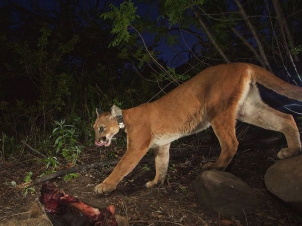 Mountain lion desperate for love safely crosses freeway in California