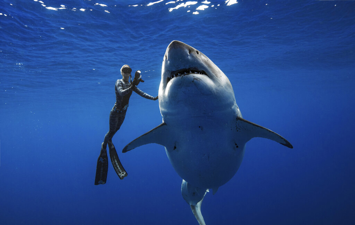Hawaii Diver Fearlessly Swims With Largest Shark On Record