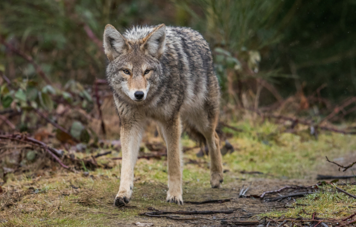 'Coyote Whacking' Legal in Wyoming, Lawmakers Don't Seem To Care