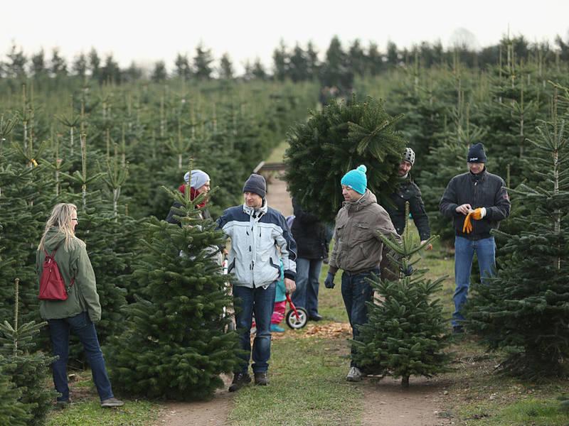 Christmas Tree Farms In Ga