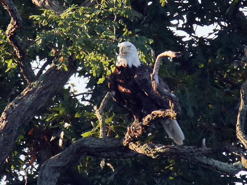 Major Drama At The 2019 DC Eagle Cam Nest (Live Feed)