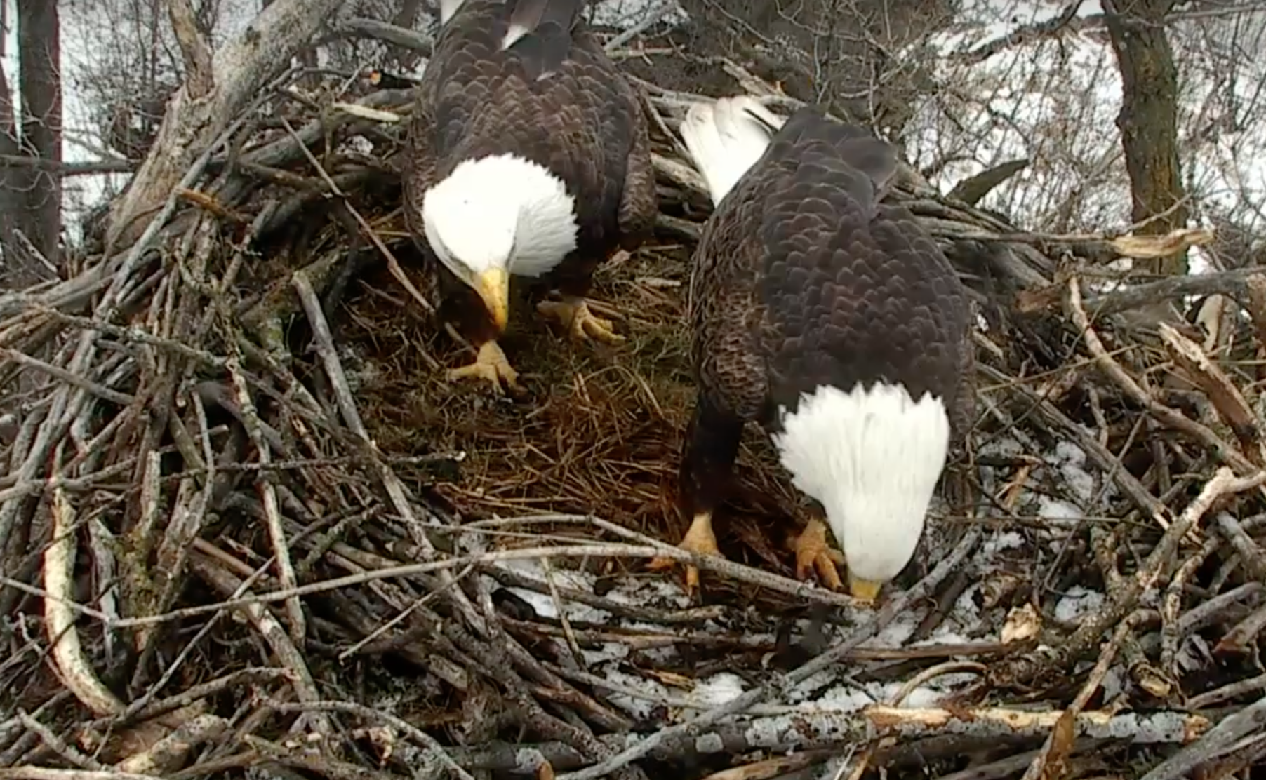Mn Department Of Natural Resources Eagle Cam