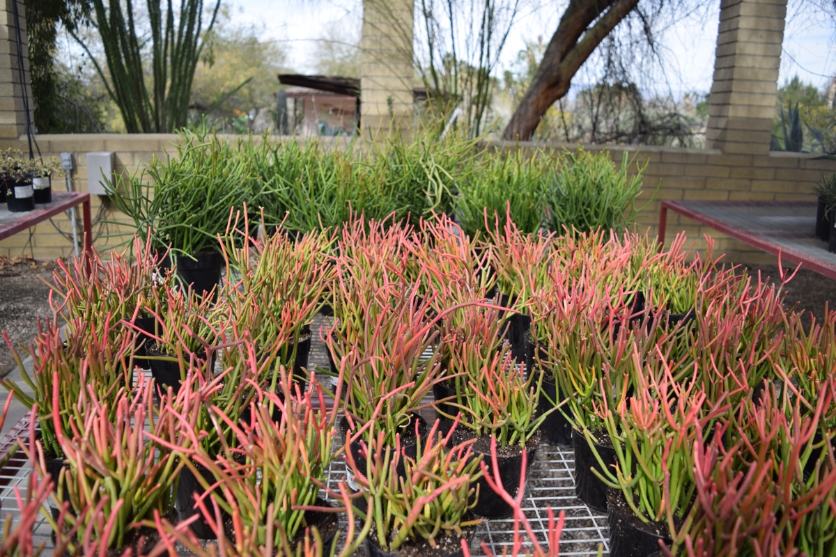 Living Desert Hosts Plant Sale Featuring Rare Desert Plants ...