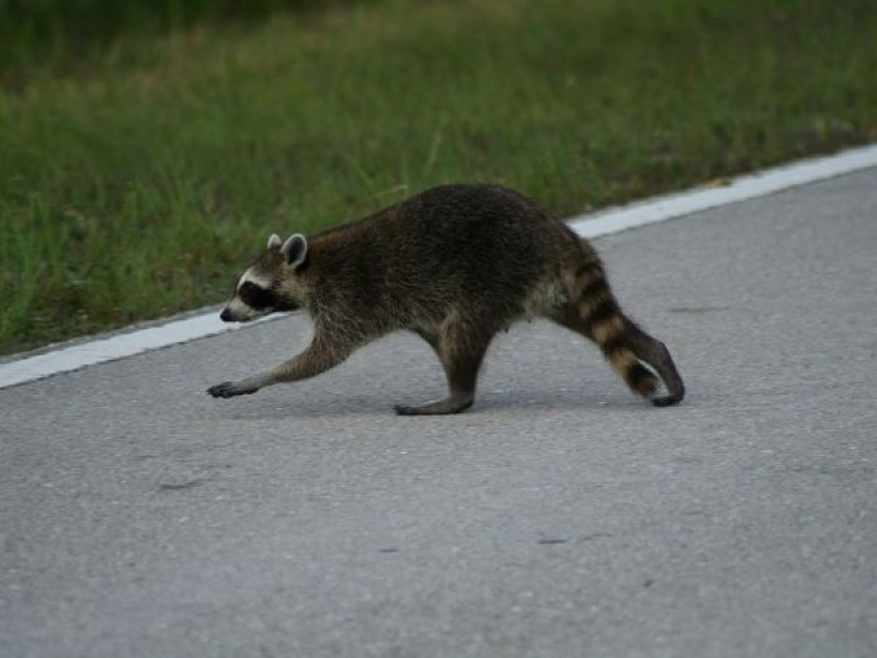 Police Cite Driver Not Jaywalking Raccoon In Ellington