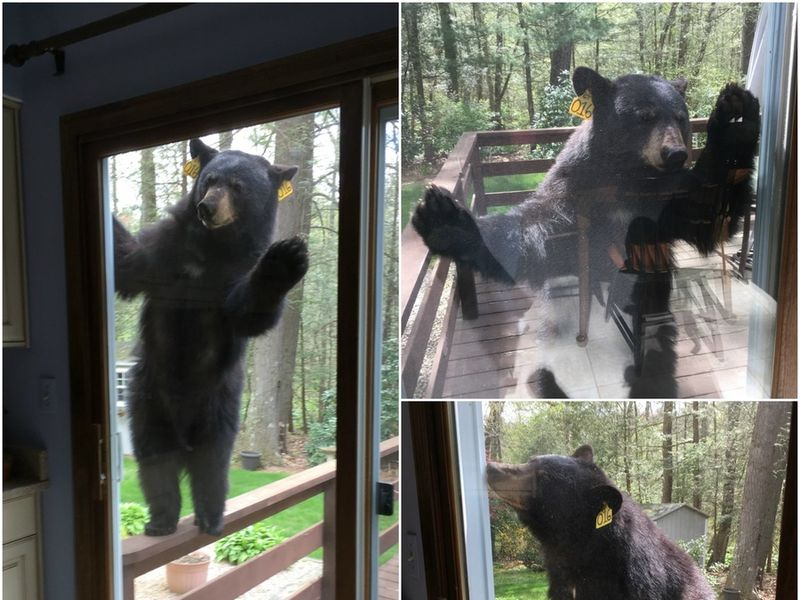 Bear Knocks On Door For Brownies Avon Ct Patch