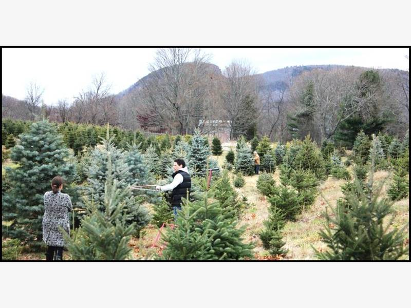 Connecticut Grown Christmas Tree Farms Opening This Week - Connecticut Grown Christmas Tree Farms Opening This Week Granby