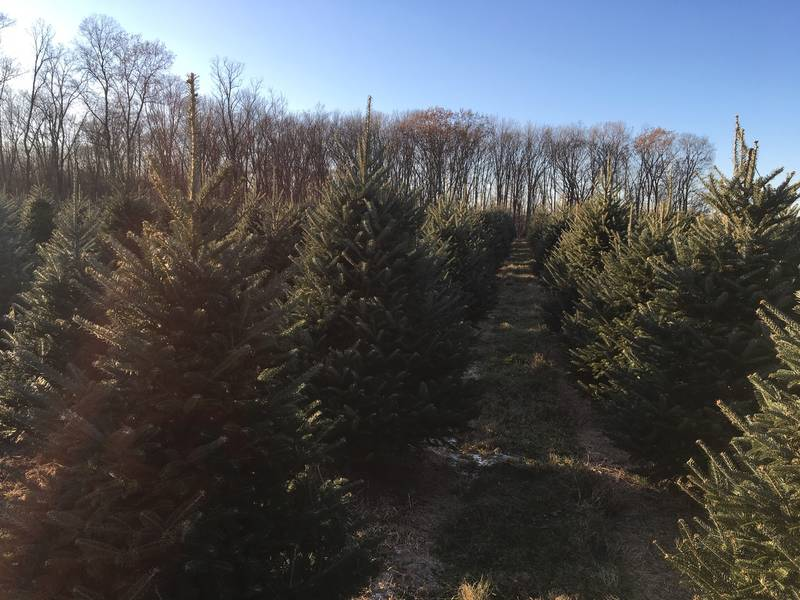 NJ's Best Pick-Your-Own Christmas Tree Farms
