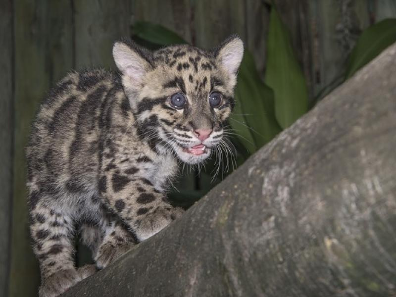 clouded leopard cubs are ambassadors in training zoo says tampa