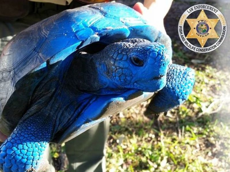 Blue Gopher Tortoise No Laughing Matter State Wildlife Officials