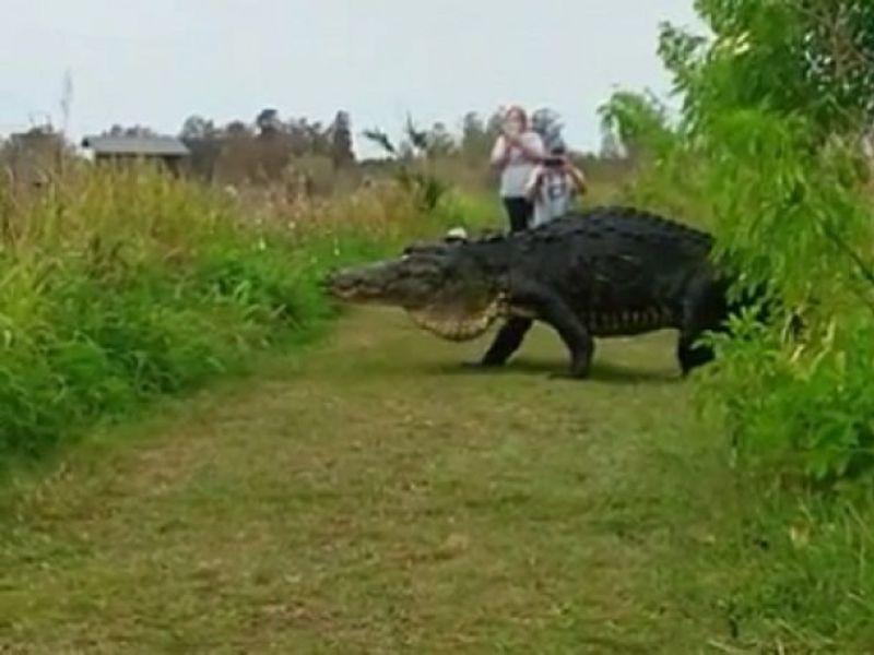 Watch: Jurassic Gator Creates Stir At Florida Nature ...