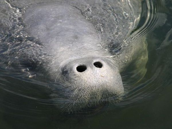 Federal officials: Manatees no longer classified as an endangered species