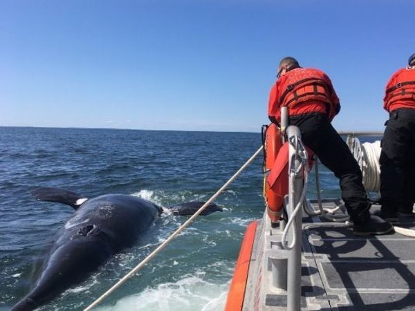 Blunt trauma may have killed endangered whale off Cape Cod