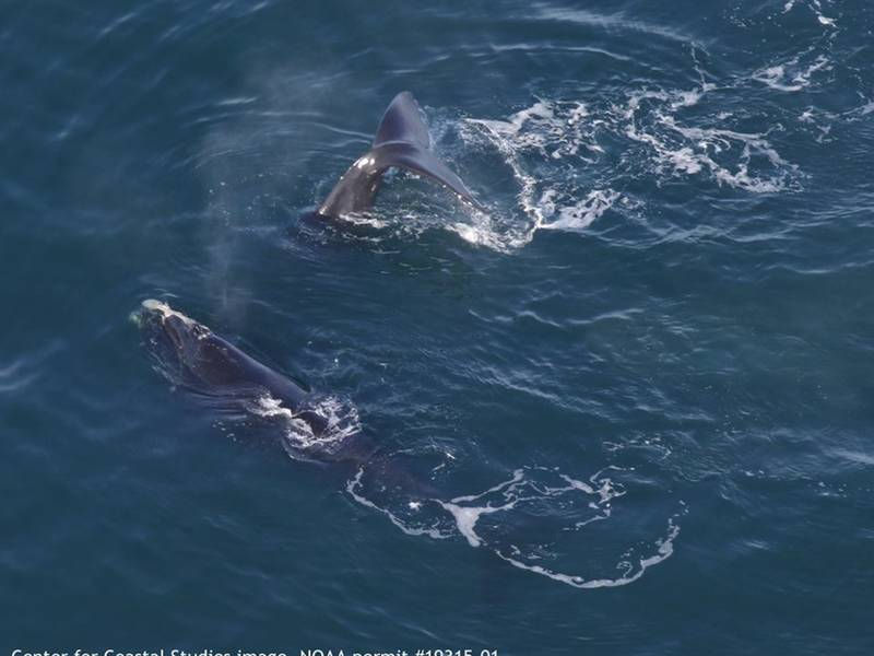 Rare Right Whales Spotted In Cape Cod Bay Barnstable Ma