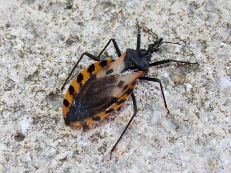 kissing bugs chagas disease in pennsylvania 5 things to know newtown pa patch. Black Bedroom Furniture Sets. Home Design Ideas
