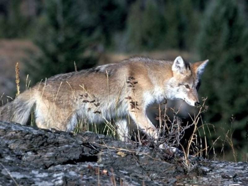 Ridgewood Police Warn Of Coyotes In Town