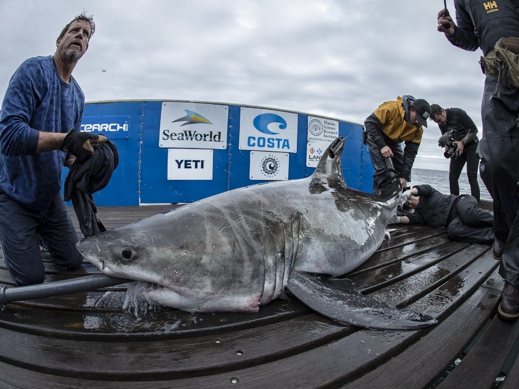 Great White Shark Spotted In Long Island Sound Hits