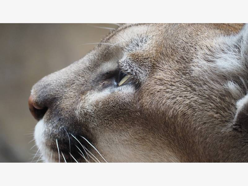 peninsula cougar women Lansing, mich - the michigan department of natural resources says that there really are cougars on michigan's lower peninsula officials say that a resident of.