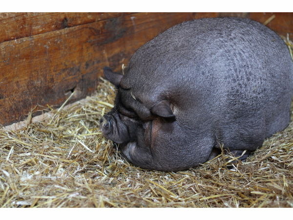 Pigging out puts potbelly pig at nearly 200 pounds for G kitchen swampscott