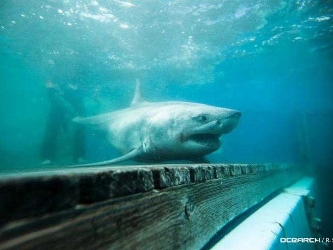 Great white shark spotted off greenwich coast greenwich - Long island swim school garden city ...