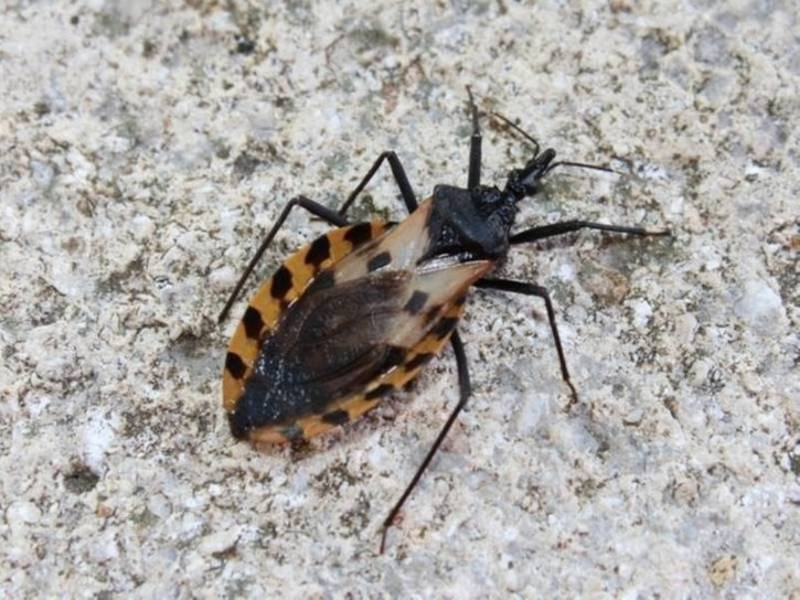 kissing bug which causes chagas disease confirmed in california patch. Black Bedroom Furniture Sets. Home Design Ideas