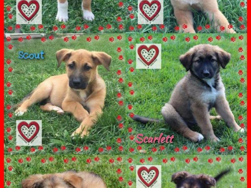 shepherd mix puppies available 4 adoption st charles il patch