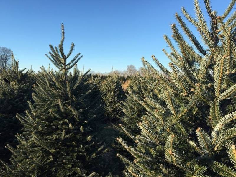 Here Is The Best Christmas Tree Farm In Connecticut: Report - Here Is The Best Christmas Tree Farm In Connecticut: Report