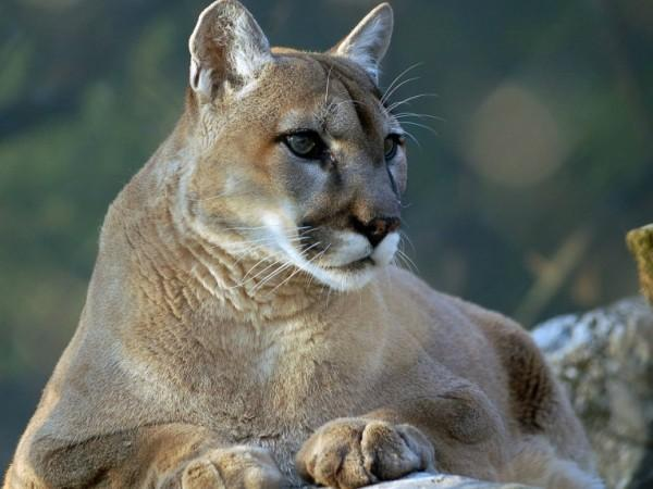pitkin cougar women Pitkin county, co -- a woman helped save her 5-year-old son by fighting off  a mountain lion that pounced on top of the boy  wooden pole about two miles  south of cougar buttes in lucerne valley on tuesday, sept.