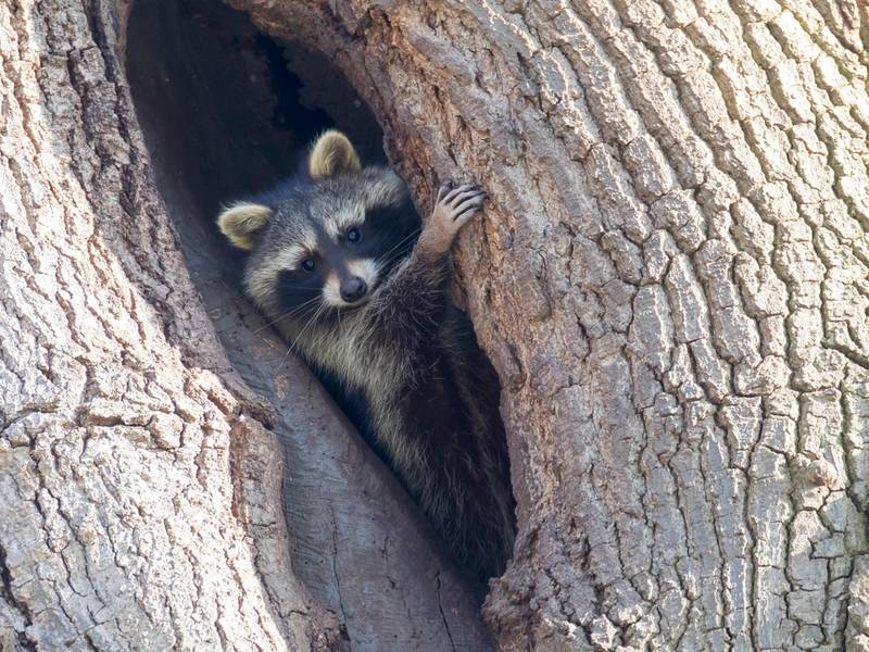 'Drunk' West Virginia Raccoons Likely Sick With Distemper: Police