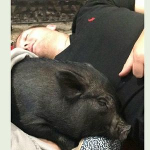 SPCA Helps Mini Pig Find Her Forever Home