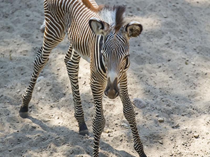 baby zebra born at lincoln park zoo lincoln park il patch