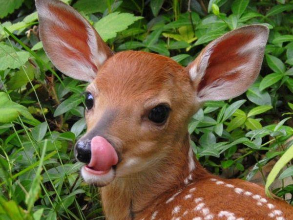 Baby Deer Animal
