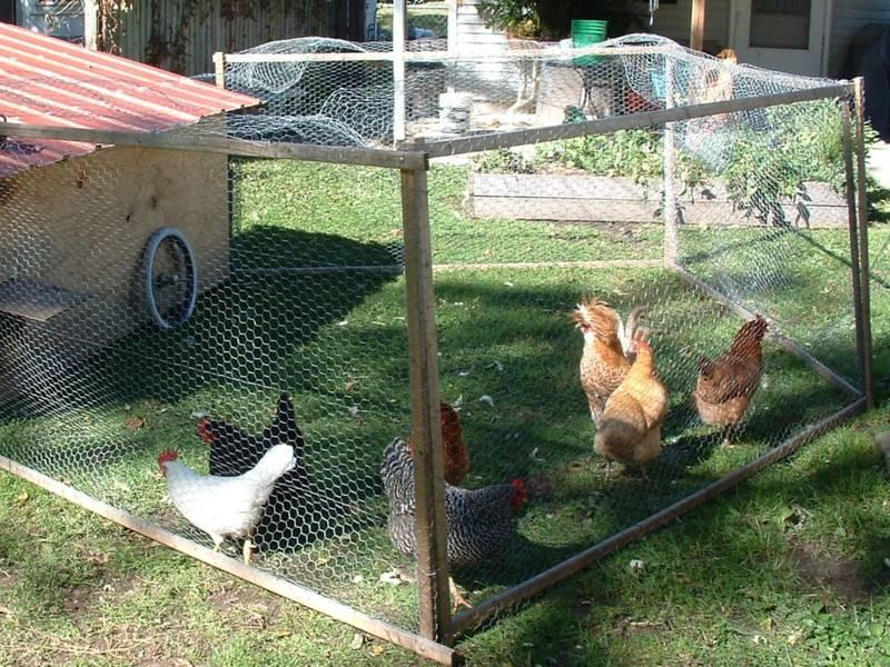 Backyard Chicken.com south orange's backyard chicken law passes (thanks to 5th grader