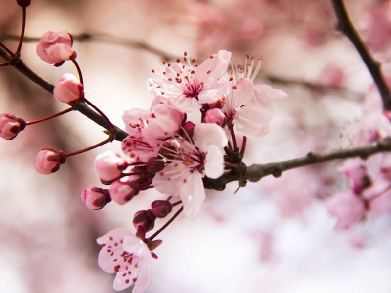 essex county cherry blossom festival returns 2018 event info