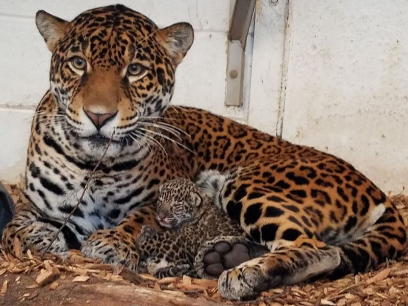 2 Jaguar Cubs Born At Elmwood Park Zoo