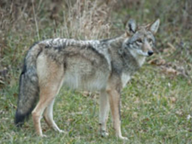 The Eastern Coyote In ...