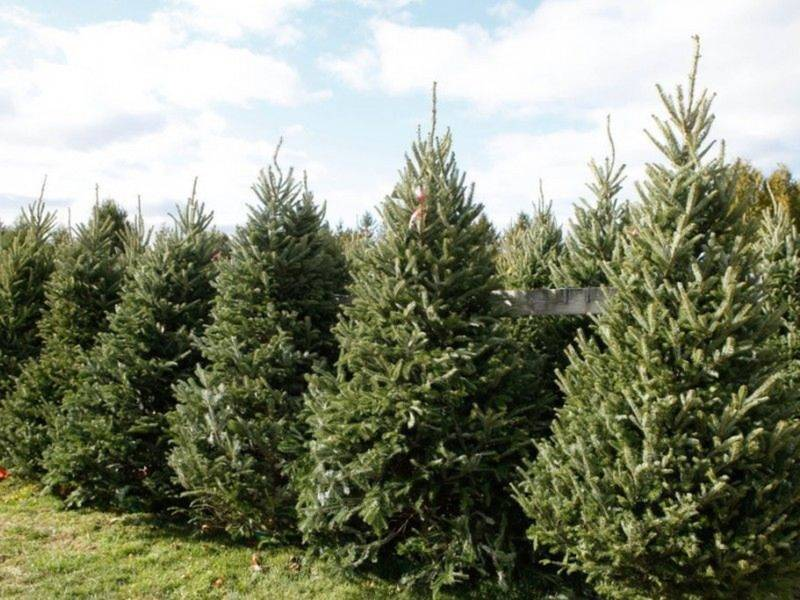 Where To Cut Your Own Christmas Tree In Chester County - Where To Cut Your Own Christmas Tree In Chester County