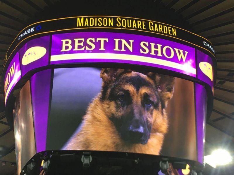 Westminster Dog Show Best In Show Winner Breed Runner